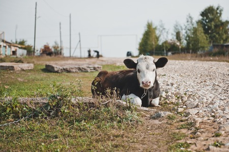black angus cattle: The bull lies on a grass at the road. Stock Photo