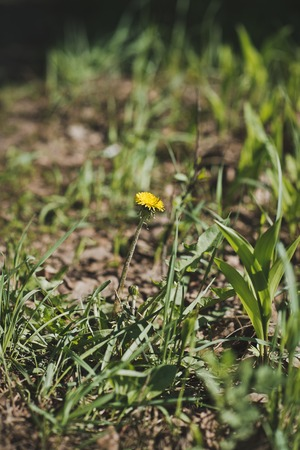 field of flower: Field flower of yellow color among a grass.