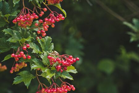bunches: Bunches of red berries. Stock Photo