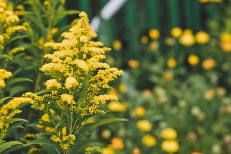セイタカアワダチソウは、黄色の花を咲かせます。 写真素材