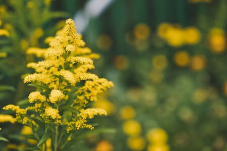 goldenrod: Goldenrod blooms yellow flowers.