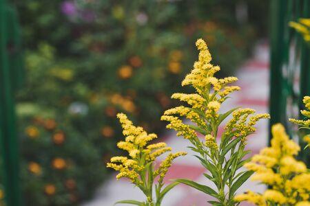 goldenrod: Plant goldenrod in bloom.