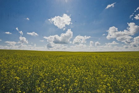 Endless field of rapeseed and blue sky. 写真素材