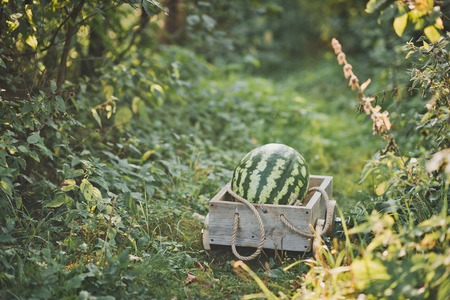 Large watermelon in a wooden cart. 免版税图像