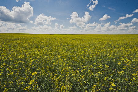 Endless field of rapeseed and blue sky. Stockfoto
