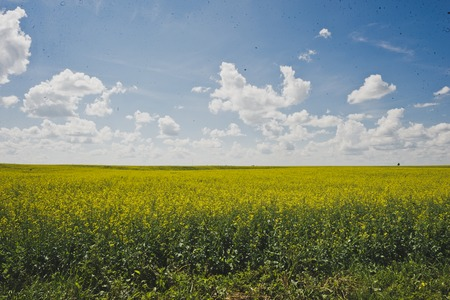Field sown with rape on the horizon. Stockfoto