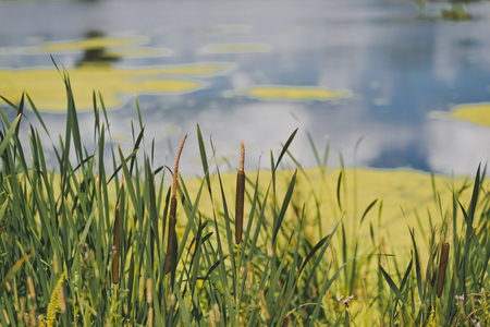 Beautiful overgrown grass narrow-leaved cattail on a background of duckweed in the pond. Stockfoto