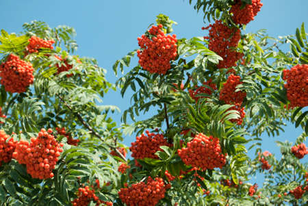 rowanberry: Fruits are red ash many bunches forest nature