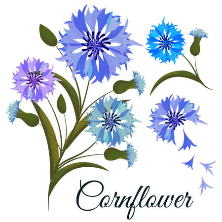 Vector illustration. Branch cornflowers. Design element. All elements are isolated.
