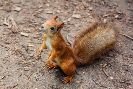 Squirrel looks around. Wild animals parks. Family of rodents. Reklamní fotografie