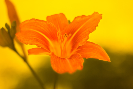 Blooming lily. Beautiful blooming summer flower.