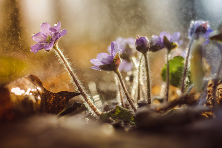 Lilac liverworts in the rain. spring flowers in the rain. Petals of a purple flower. rain and sun