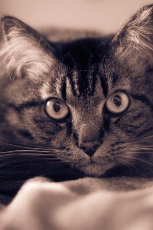 The eye of a domestic cat. Pet. Beautiful eye. Animal hair 免版税图像