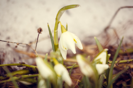 The first snowdrops stick out from under the snow. The first spring flowers. A flower blooms. New life. Spring came. Warming, melted snow. Beautiful white flowers. Snowdrops Imagens