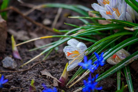 The first spring flowers. A flower blooms. New life. Spring came. Warming, melted snow. Crocuses. Crocuses bloom