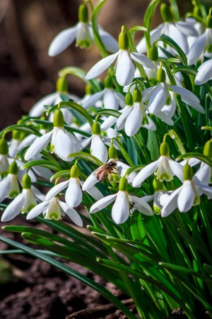The first snowdrops stick out from under the snow. The first spring flowers. A flower blooms. New life. Spring came. Warming, melted snow. Beautiful white flowers. Snowdrops