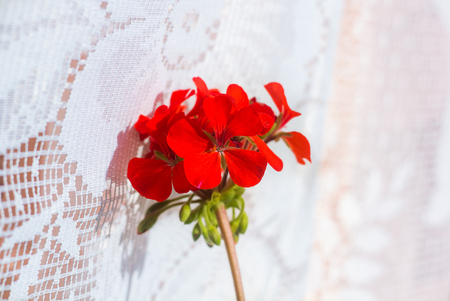 Home flower geranium. Home flower on the windowsill. Perennial home plant. Indoor plant