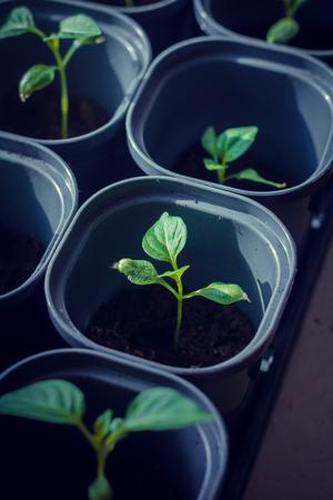 Seedlings at home on the windowsill. Preparing for landing. Homemade vegetables.