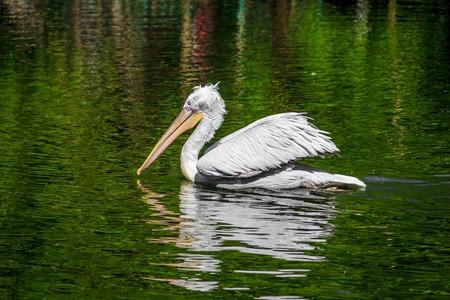 Pelican in the lake at the zoo. Big bird Bird in captivity. Bird in the zoo. Unhappy animal.