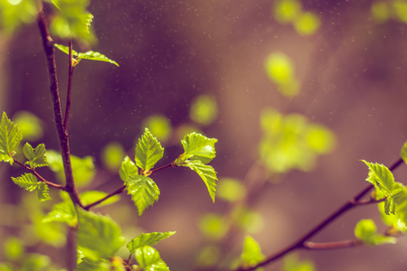 Blossoming birch branch. Spring came. Hi spring. Spring blooming foliage. Natural nature