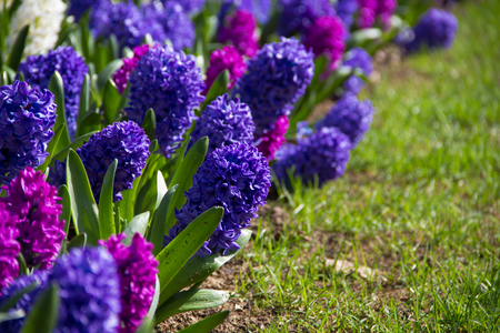 Bright hyacinth flowers on the sunny lawn grew and blossomed. Spring flowers . Natural nature.