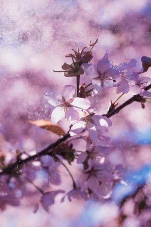 Árbol japonés floreciente - Sakura. Árbol de flores rosadas. Árbol fragante. Hermoso fondo floral Foto de archivo