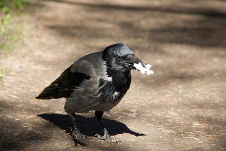 crow walking along the path. black crow. wild bird Reklamní fotografie