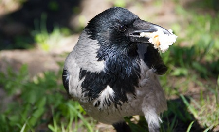 crow walking along the path. black crow. wild bird Standard-Bild