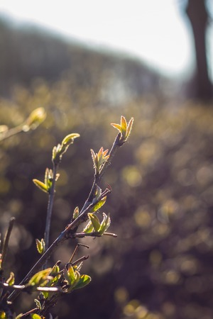 The first leaves of the bush. Dissolving leaflet. The beginning of spring. Getting warmer Stock Photo