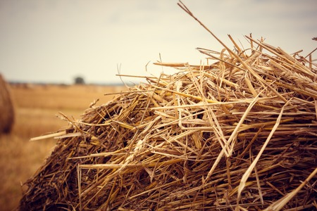 A field with stacks. Haystacks on the field. Hay stocks for the winter. Cattle feed.
