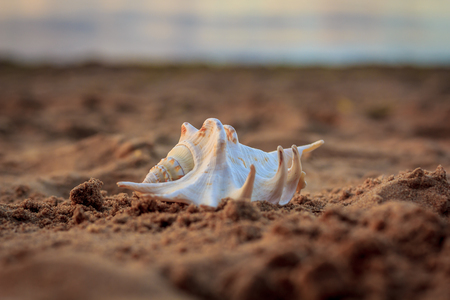 A shell lying on the sand at sunset. Shell on the sand. Maritime theme. Sand on the beach.