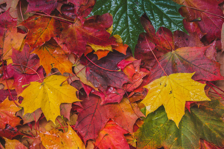 Background of maple leaves. Many colored maple leaves. Red and yellow leaves. Natural leaves background