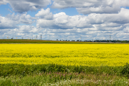 Summer landscape in the field. Field of yellow flowers and blue sky with clouds. Summer field background