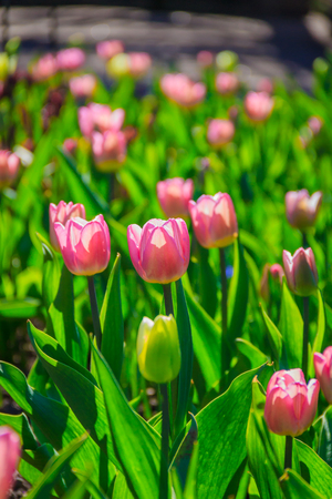 Flowers in the flowerbed - tulips. Pink tulips. Flowers blooming in spring. Decoration of urban and park beds.