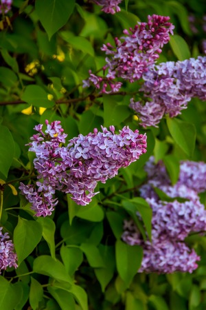 The branches of the bush are lilac. Lilac flowers. Bush flowers.