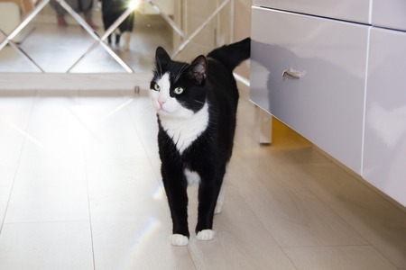 Black and white domestic cat. Well-groomed cat. A pet.