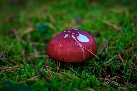 Russula in the grass and moss. Edible mushrooms. Mushrooms in the forest Zdjęcie Seryjne