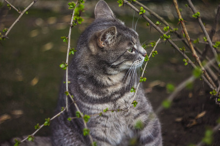 The gray cat gnaws a branch of a bush. A street cat. A branch of a blossoming bush