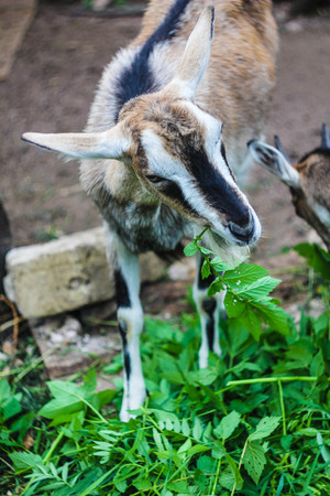 A goat in the yard behind the fence. Goat sting weed. Livestock. Cattle for a walk Stock Photo