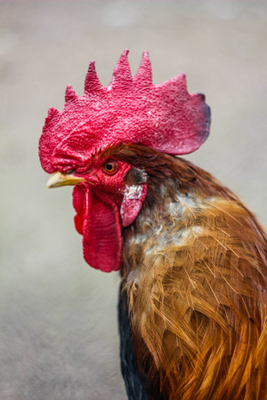 Rooster with a red mane. Poultry birds. Bird in the street 写真素材