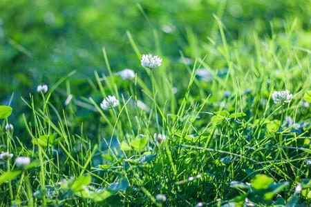 Summer wild flowers - clover. Flower ball. Small flowers.