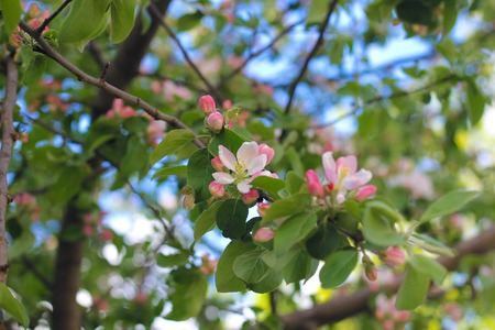 A branch of a blossoming apple tree. pink blooming. fruit tree