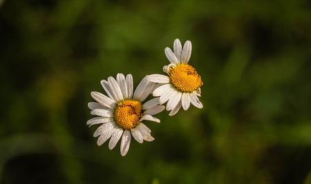 chamomile wildflowers. white wildflowers. flower petals. White flower petals 免版税图像