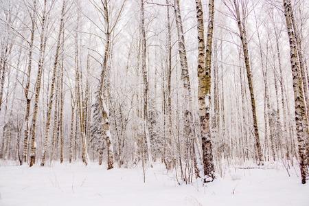 Birkenhain im Winter im Schnee. Weiße Bäume. Bäume im Schnee. Winterlandschaft Hain von weißen Bäumen und Schnee. Weißer Schnee . Standard-Bild