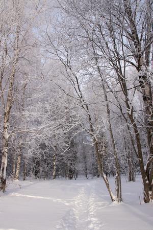 Birch grove in the winter in the snow. White trees. Trees in the snow. Winter landscape grove of white trees and snow. White snow .