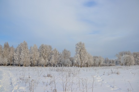 Birch grove in the winter in the snow. White trees. Trees in the snow. Winter landscape grove of white trees and snow. White snow .