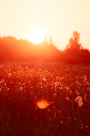 Summer sunset in the field. Evening field. Field with grass and wildflowers. Ray of sunshine Photo tinted