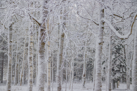 Winter landscape in the forest. Trees in the snow. Snow picture. Swept with snow. Stock Photo