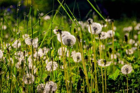 A field of dandelions. White dandelions. White summer flowers