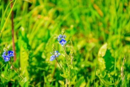 Blue flowers of forget-me-not in the grass. Small flowers. Summer flowers in the grass